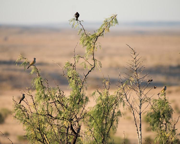 4-25-16 Brown-headed Cowbird - Ranch - Marfa, TX-640