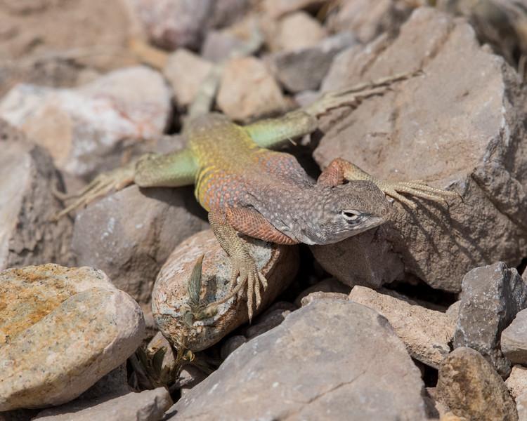 4-18-16 Lizard - Rio Grand Village - Big Bend NP, TX-293