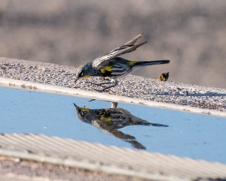 4-25-16 Yellow-rumped Warbler - Audubon's - Ranch - Marfa, TX-651