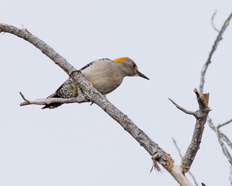 4-18-16 Golden-fronted Woodpecker - Rio Grande Village - Big Bend NP, TX-105