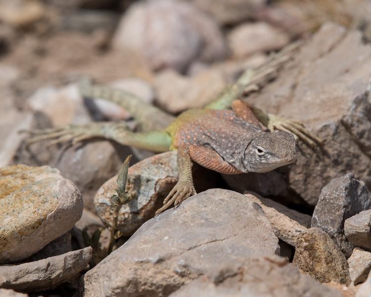 4-18-16 Lizard - Rio Grand Village - Big Bend NP, TX-294