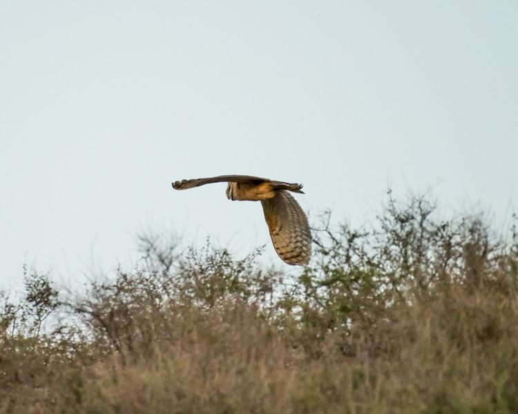 4-25-16 Barn Owl - Ranch - Marfa, TX-631
