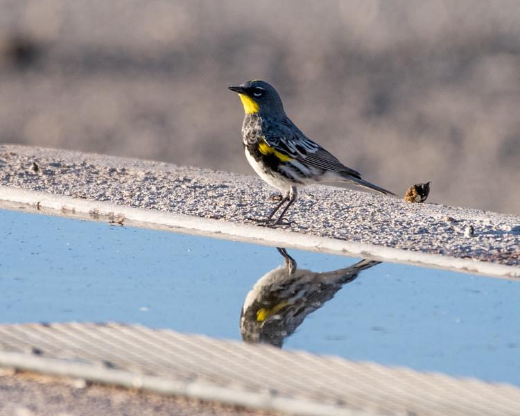 4-25-16 Yellow-rumped Warbler - Audubon's - Ranch - Marfa, TX-653