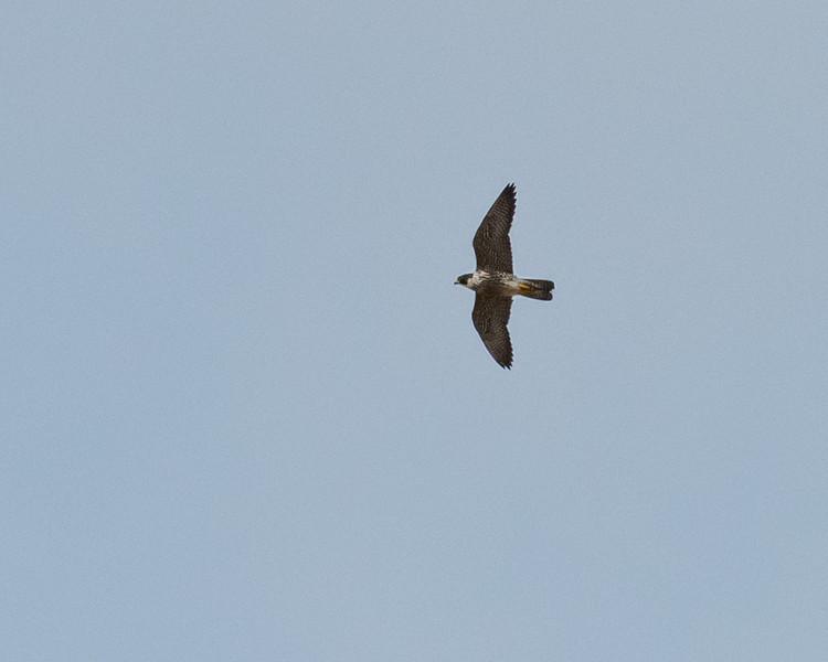 4-18-16 Peregrine Falcon - Rio Grande Village - Big Bend NP, TX-217