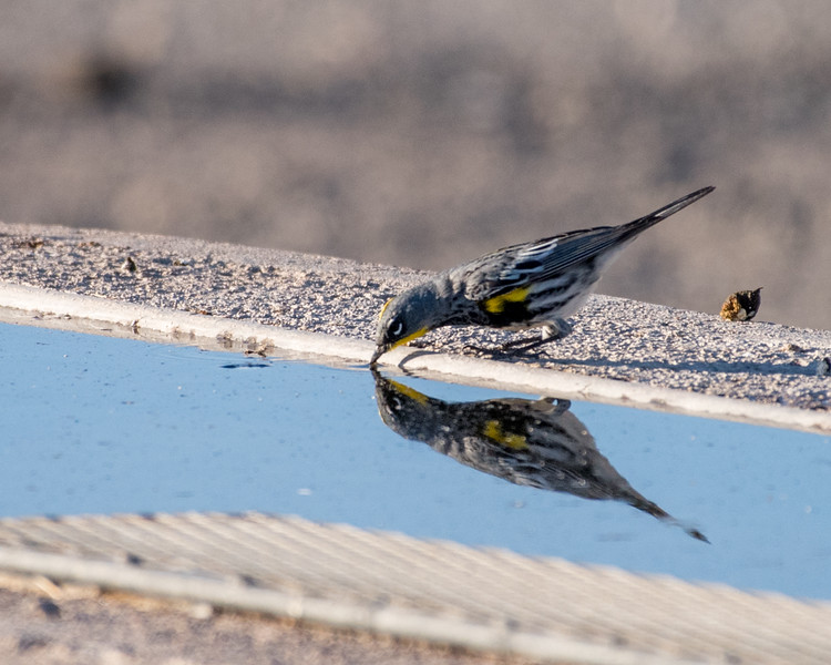 4-25-16 Yellow-rumped Warbler - Audubon's - Ranch - Marfa, TX-652