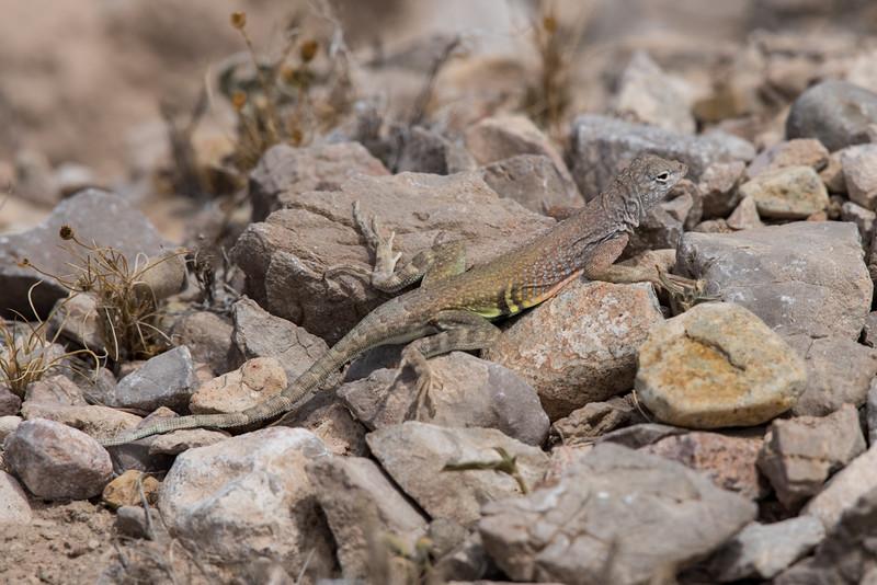 4-18-16 Lizard - Rio Grand Village - Big Bend NP, TX-282