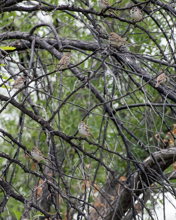 4-18-16 Lark Sparrows - Rio Grande Village - Big Bend NP, TX-177
