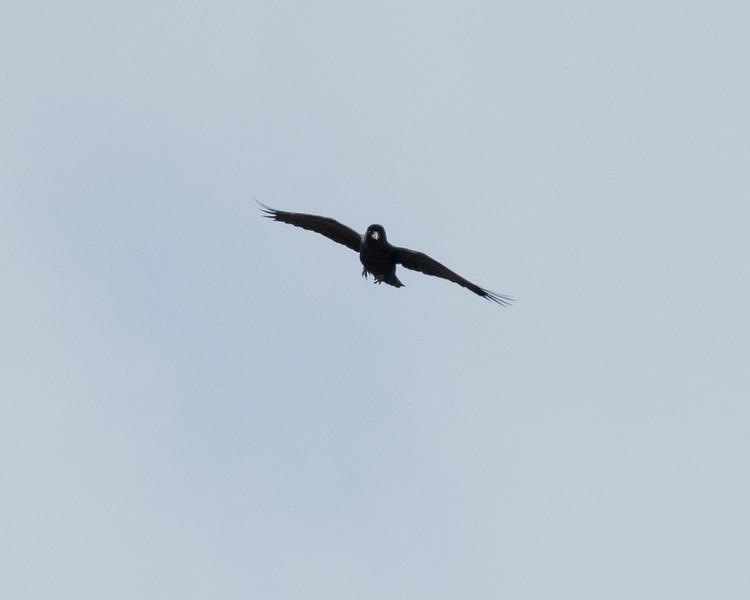 4-18-16 Raven sp - Rio Grande Village - Big Bend NP, TX-227