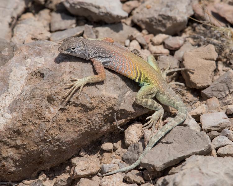 4-18-16 Lizard - Rio Grand Village - Big Bend NP, TX-305