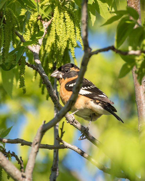 4-25-16 Black-headed Grosbeak - Audubon's - Ranch - Marfa, TX-659