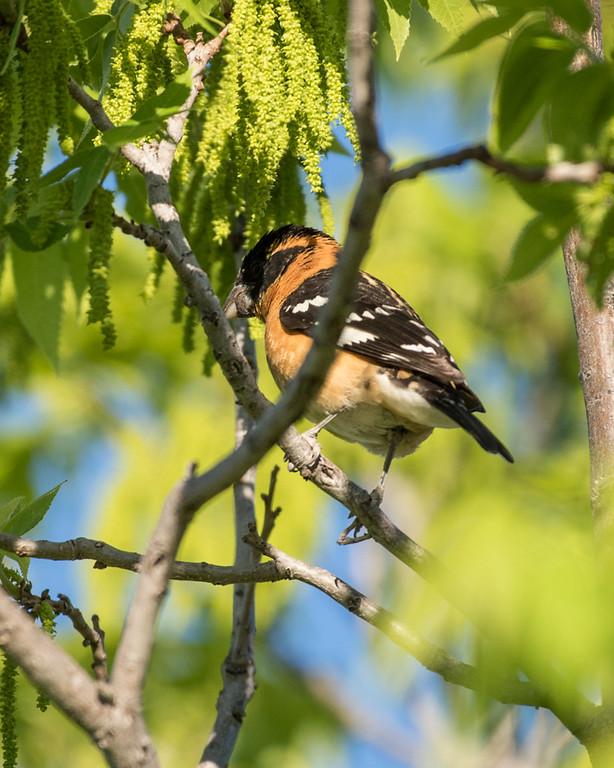 4-25-16 Black-headed Grosbeak - Audubon's - Ranch - Marfa, TX-658