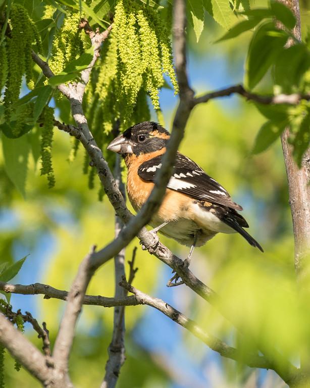 4-25-16 Black-headed Grosbeak - Audubon's - Ranch - Marfa, TX-660