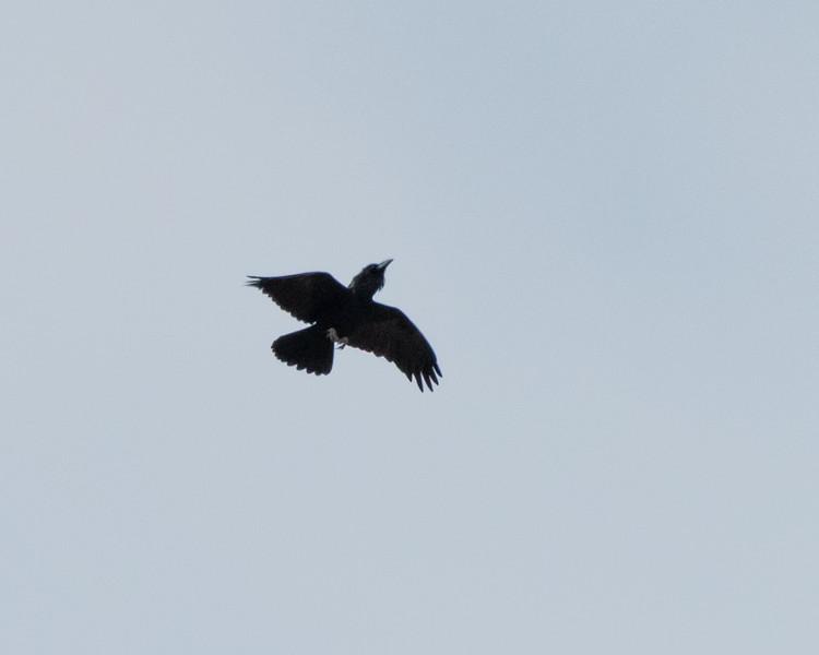 4-18-16 Raven sp - Rio Grande Village - Big Bend NP, TX-229