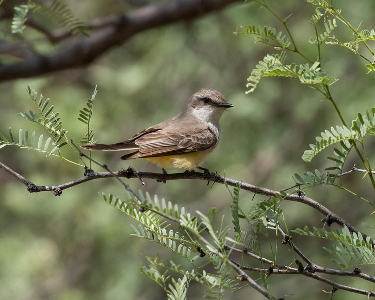 4-18-16 Vermillion Flycatcher - Rio Grande Village - Big Bend NP, TX-324