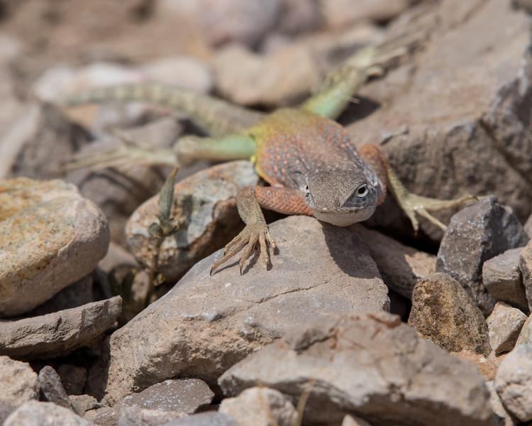 4-18-16 Lizard - Rio Grand Village - Big Bend NP, TX-297